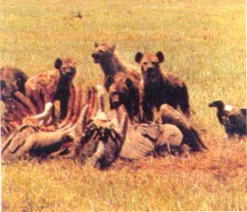 Aca se ve una patota de hienas morfando nuestra muerte. Suele pasar--dice Ovidio--del libro La Jungla